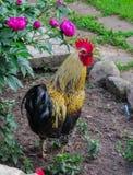 Gallo hermoso en el fondo de la naturaleza de una granja rural imagen de archivo libre de regalías