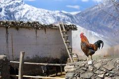 Gallo Himalayan Imagenes de archivo
