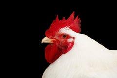 Gallo isolato sul nero Fotografia Stock