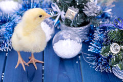 Gallo joven, pequeño polluelo Animal, pájaro, aves de corral Foto de archivo