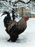 Gallo libero di brahma dell'intervallo nell'inverno immagine stock