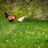 Gallo libre y su gallina el el resorte Imagen de archivo libre de regalías