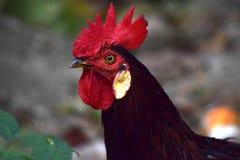 Gallo majestuoso Foto de archivo
