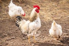 Gallo maschio Immagini Stock Libere da Diritti