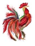 Gallo multicolore del gallo isolato su fondo bianco Immagine Stock Libera da Diritti