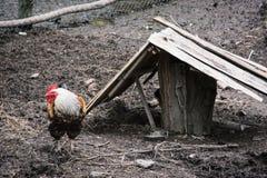 Gallo nazionale Fotografia Stock Libera da Diritti