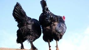 Gallo negro con un peine rojo y pollo que se sienta en una cerca contra un cielo azul almacen de metraje de vídeo