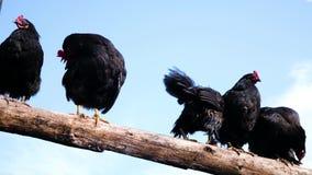 Gallo negro con un peine rojo y pollo que se sienta en una cerca de madera contra un fondo del cielo azul metrajes