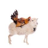 Gallo negro en blanco Foto de archivo libre de regalías