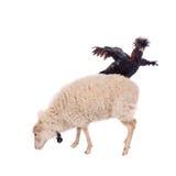 Gallo negro en blanco Imágenes de archivo libres de regalías