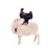 Gallo negro en blanco Imagen de archivo