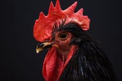 Gallo negro grande en un fondo del darck Imágenes de archivo libres de regalías
