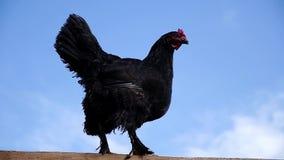 Gallo negro hermoso con un peine rojo que se sienta en una cerca de madera contra un fondo del cielo azul metrajes