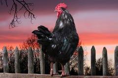 Gallo negro que se sienta en la cerca. levantamiento del sol. Foto de archivo libre de regalías