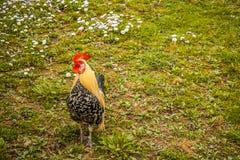 Gallo nel giardino Fotografie Stock Libere da Diritti