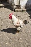 Gallo nel pollaio Fotografia Stock Libera da Diritti
