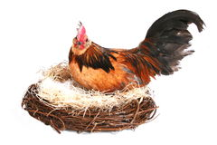 Gallo nella casa di gallina fotografia stock libera da diritti