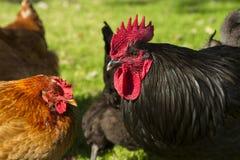 Gallo nero con le galline Fotografie Stock Libere da Diritti