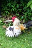 Gallo o pollo principal rojo en verde Imagen de archivo libre de regalías