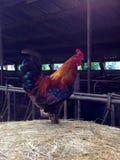 Gallo olandese su esposizione Fotografia Stock Libera da Diritti