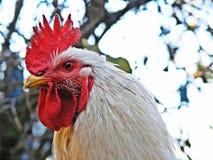 Gallo orgulloso Foto de archivo