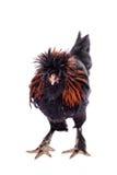 Gallo pauloviano de la raza en blanco Fotos de archivo libres de regalías
