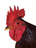 Gallo peinado rojo fotografía de archivo libre de regalías