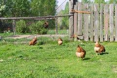 Gallo, pollame, pollo, Fotografia Stock Libera da Diritti