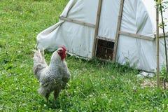 Gallo por su casa Foto de archivo
