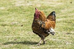 Gallo que camina solamente en un corral imagenes de archivo