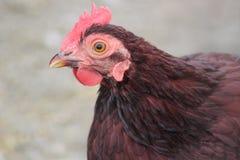 Gallo rojo Fotos de archivo