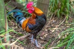 Gallo rojo Imagen de archivo