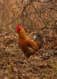 Gallo rojo Imagenes de archivo