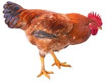 Gallo rojo aislado Fotografía de archivo