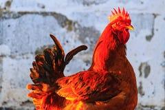 Gallo rojo de la raza contra la perspectiva de la pared fotografía de archivo libre de regalías