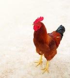 Gallo rojo, símbolo de nuevo 2017 Imagen de archivo