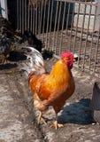 Gallo rosso Fotografia Stock