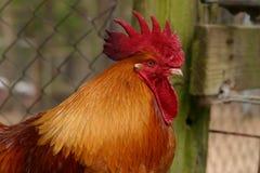 Gallo rosso Fotografia Stock Libera da Diritti