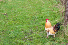 Gallo rosso contro i precedenti dell'erba Fotografia Stock Libera da Diritti