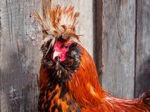Gallo rosso nell'iarda del pollame Fotografia Stock
