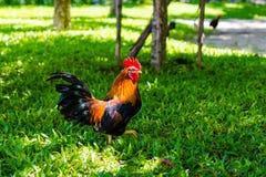 Gallo rosso su erba verde Fotografia Stock Libera da Diritti