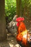 Gallo rosso, sviluppato naturalmente in una bio- azienda agricola Fotografia Stock Libera da Diritti