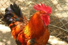 Gallo rosso, sviluppato in una bio- azienda agricola Fotografia Stock Libera da Diritti
