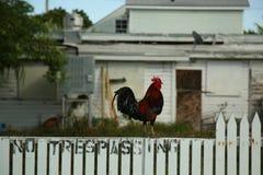 Gallo salvaje en Key West, la Florida imagen de archivo