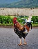 Gallo selvaggio Immagine Stock