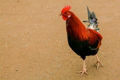 Gallo selvaggio hawaiano del gallo Immagine Stock Libera da Diritti