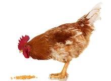 Gallo su fondo bianco, oggetto, pollo vivo, un animale da allevamento del primo piano Immagine Stock Libera da Diritti