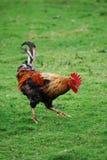 Gallo su un'azienda agricola Immagini Stock