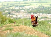 Gallo sul campo Fotografia Stock