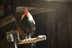 gallo sul ramo del fondo della natura, un simbolo di 2017 sulla c orientale Fotografia Stock Libera da Diritti